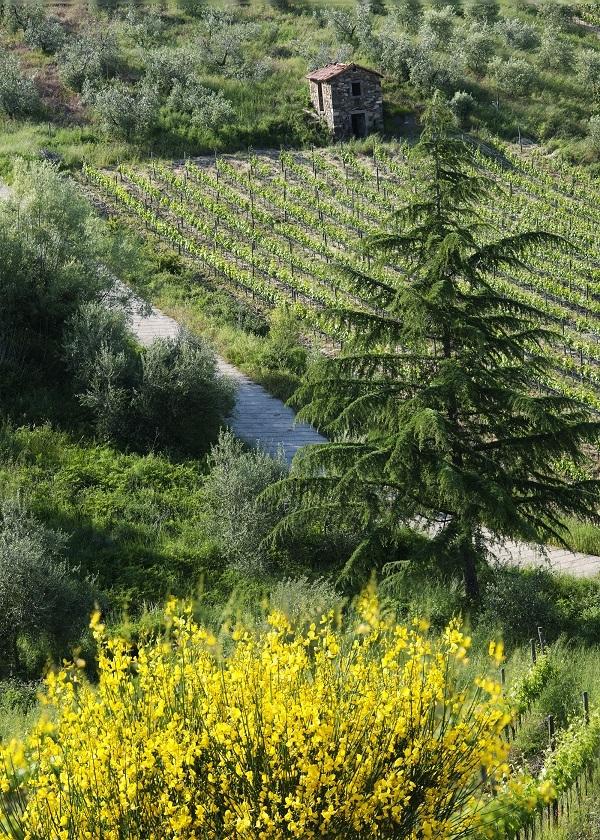 La vigna sul Monte Amiata