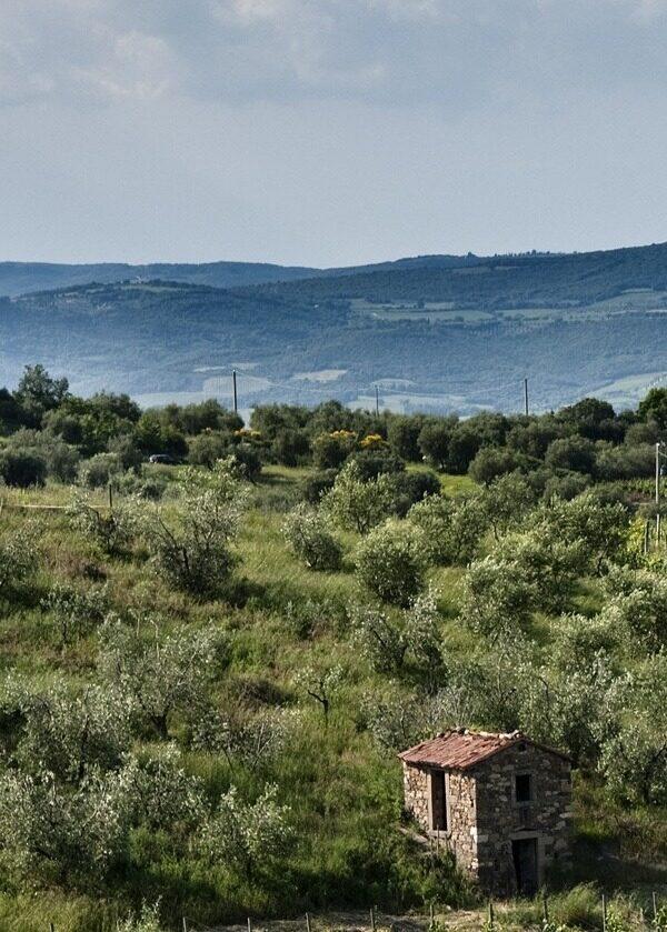 Gli olivi di olivastra seggianese tipica